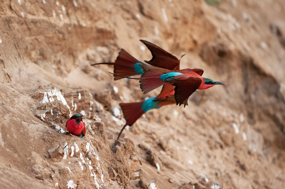 Two Carmine bee-eaters take flight as a third remains sitting on the bank of the Luangwa River at the Tafika Camp's Carmine bee-eater hide
