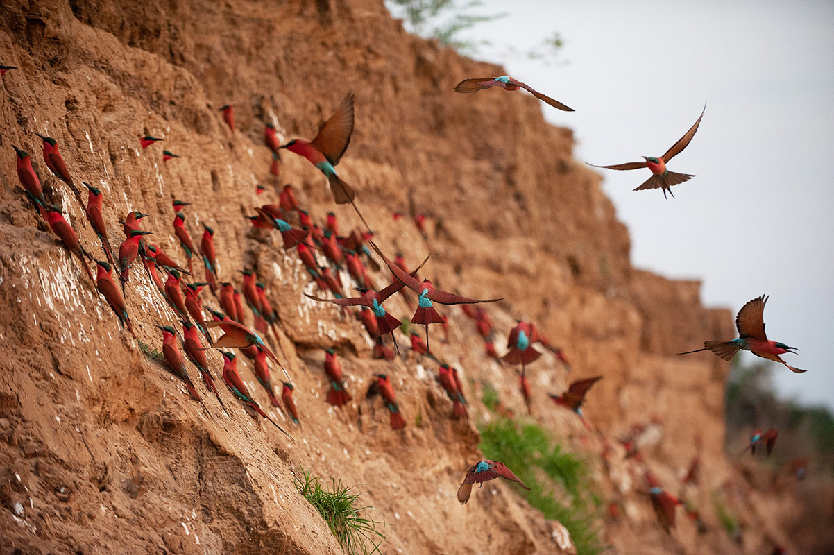 A flock of Carmine bee-eaters on the banks of the Luangwa River at the Tafika Camp's Carmine bee-eater hide