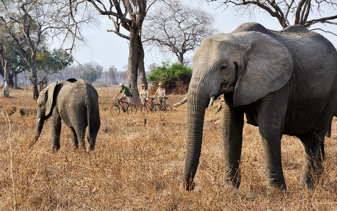 Guests of Remote Africa Safaris stumble upon two elephants during a cycling safari in the Luangwa Valley
