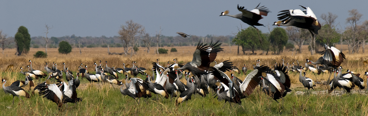 A flock of Grey Crowned Cranes feeding on the grass of the Luangwa Valley in Zambia