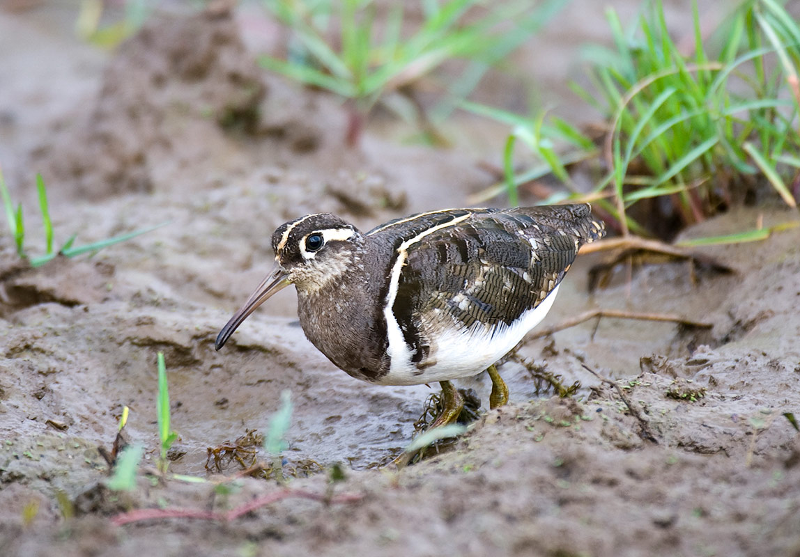 A Painted Snipe, one of 469 recorded bird species that can be found in South Luangwa