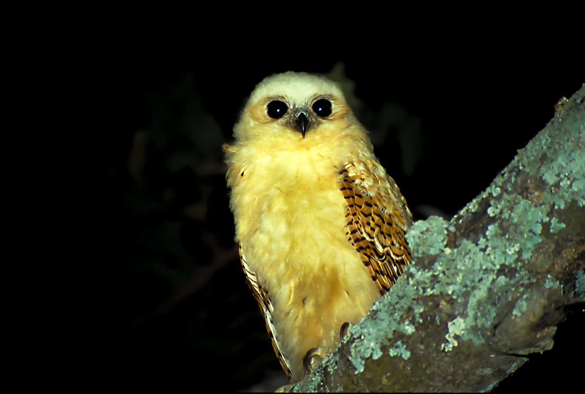 A Pel's Fishing Owl perched on a tree branch, photographed during a night safari at Remote Africa Safaris