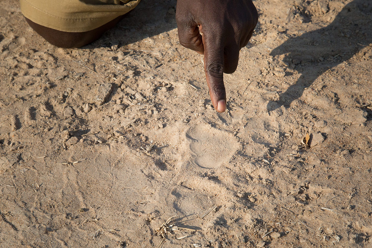 A safari guide from Remote Africa Safaris point out a paw print during a walking safari on the Chikoko Trails in Zambia