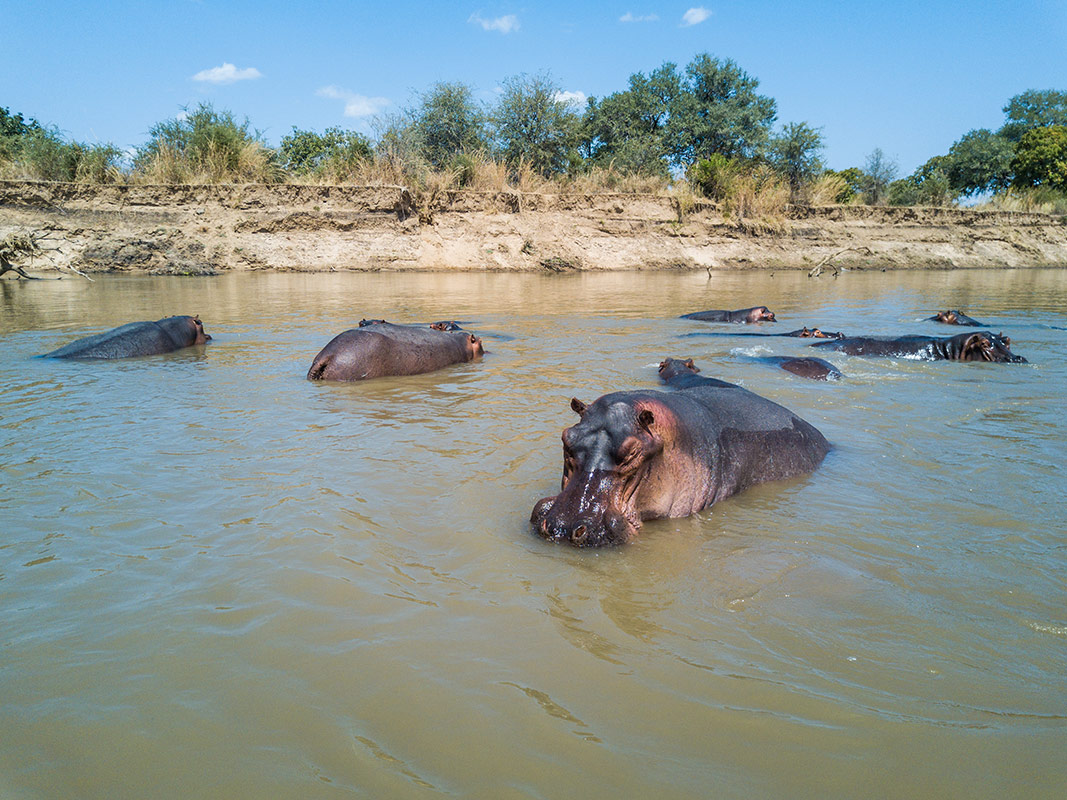 A group of hippopotamus bathing in the Luangwa river in full view of guests at the Tafica Camp hides in South Luangwa National Park, Zambia