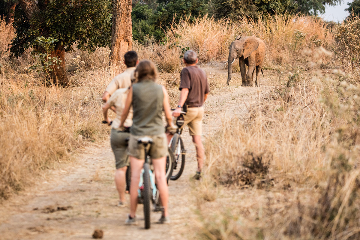 An elephant approaches Remote Africa Safaris guests on a cycling safari in the Luangwa Valley