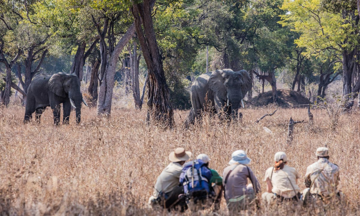 Remote Africa Safaris guests croaching in the grass as two elephants stroll past them while on a walking safari in the Luangwa Valley.