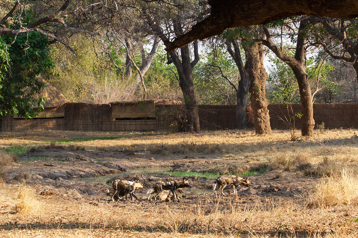 Three African wild dogs exploring the area around the elephant hide at Tafika Camp in Zambia