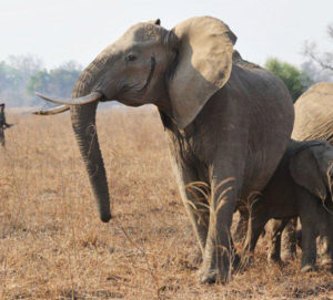A group of elephants enjoying a leisurely stroll in South Luangwa National Park, Zambia