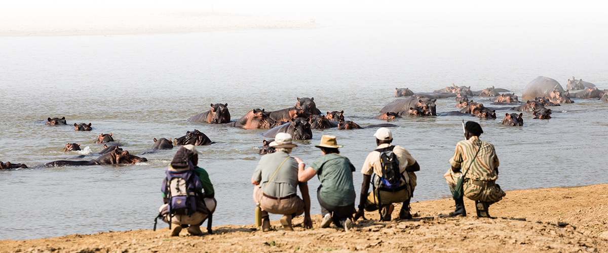 Guests of Remote Africa Safaris Takwela Camp stops to admire the hippopotamus, bathing in the Luangwa River, during a walking safari