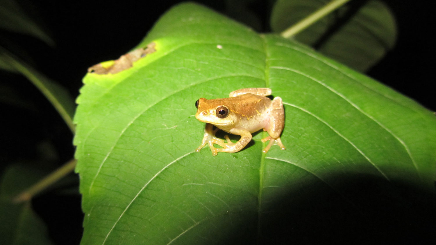 Amphibians of the Luangwa Valley