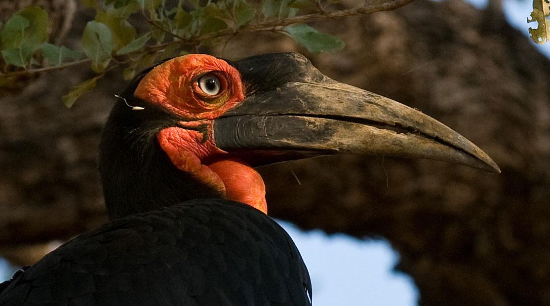 Birds of the Luangwa Valley