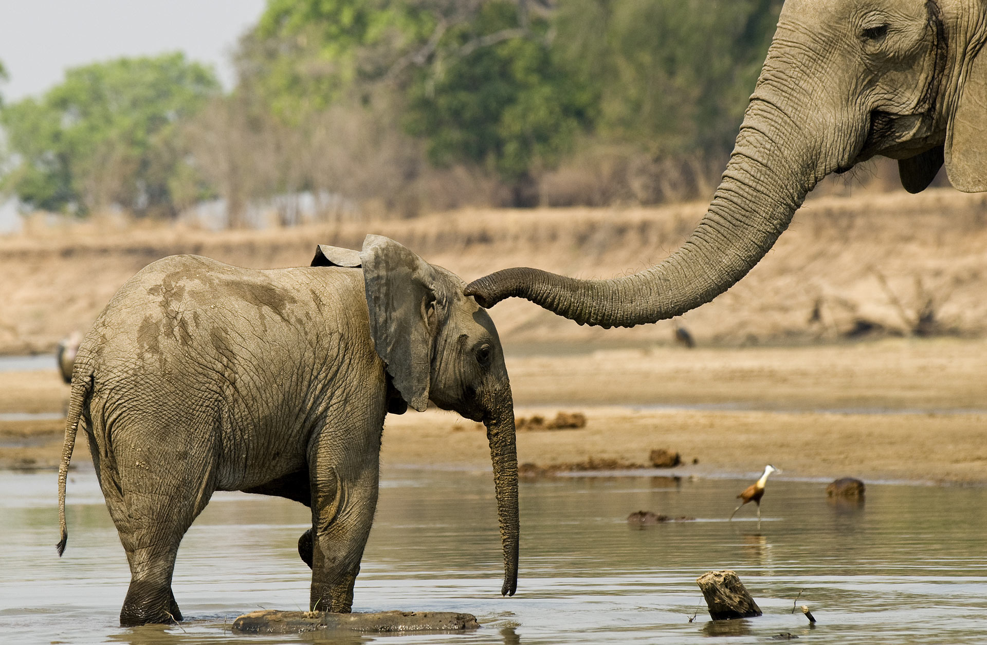 Two elephants bathing in the Luangwa River