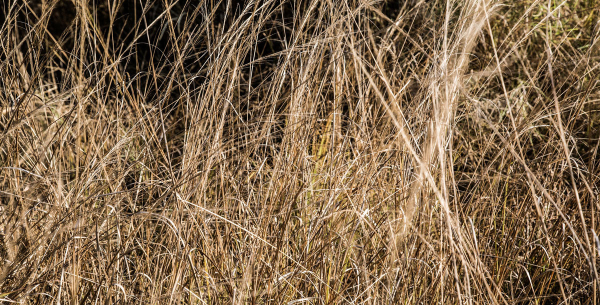 Grasses of the Luangwa Valley