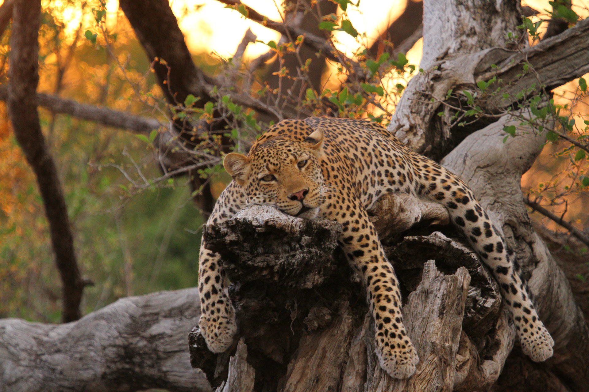 Lazy Leoperd lying on a tree branch in the Luangwa Valley, Zambia