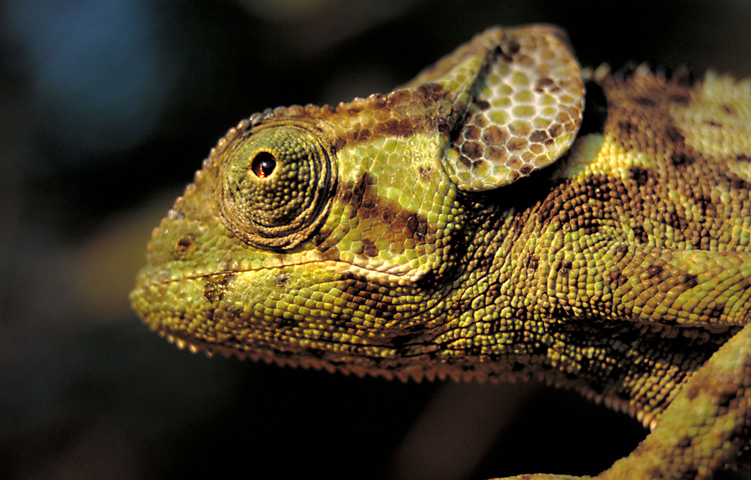 Reptiles of the Luangwa Valley